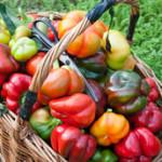Как выращивать перцы, чтобы получить хороший урожай?