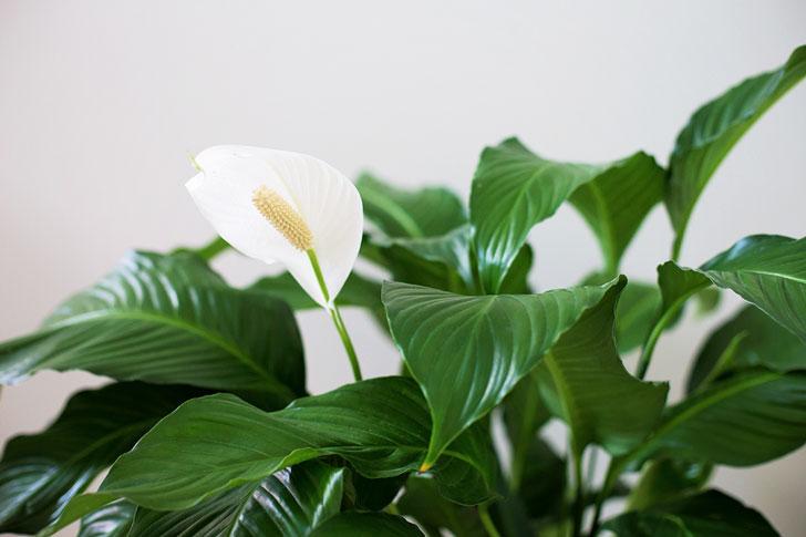 Спатифиллум - самое полезное домашнее растение