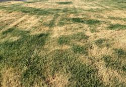 Почему желтеет газон?