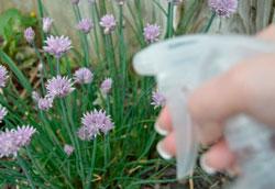 Как сделать спрей для защиты растений от насекомых?